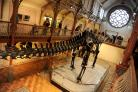 Dippy on tour at Dorset County Museum Picture: Finnbarr Webster