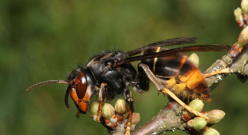 The Asian hornet is heading to Dorset shores (Photo: Jean Haxaire).