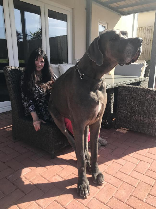 Bentley the Huge Great Dane always sitting on my lap
