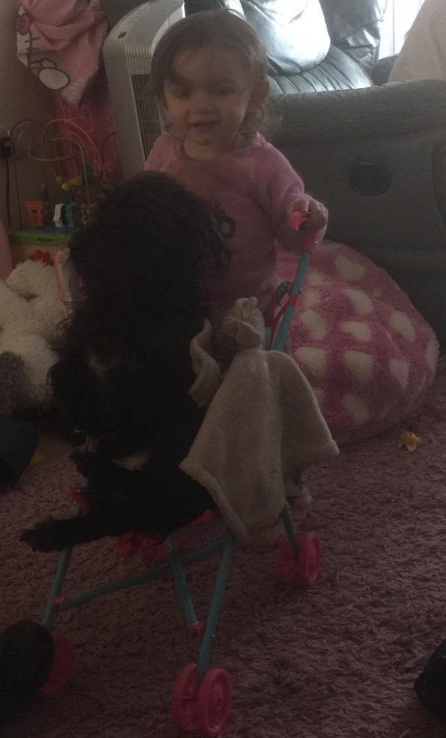 Macey-lea who is 22 months old  pushing her buddy  Angus  around the house in her  toy buggy