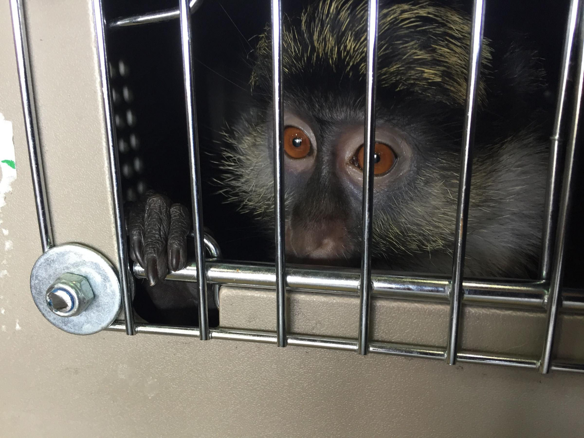 Benny & Nia (pictured) Were Lucky to Survive Being Smuggled Out of Africa ©Monkey World 2018