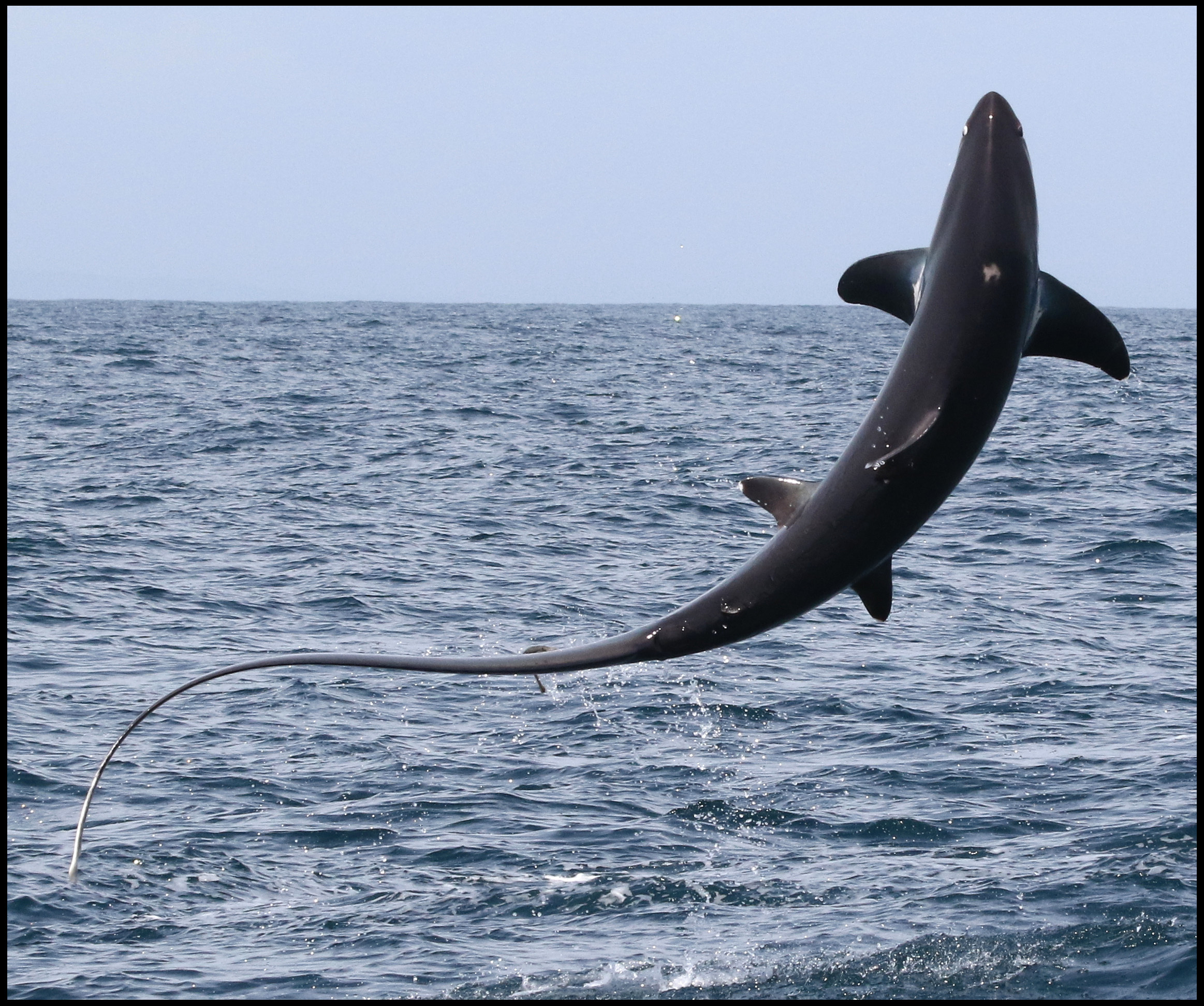 The spectacular moment a 15ft long thresher shark stunned sightseers in Lyme Bay   Pic: TomBrereton/BNPS