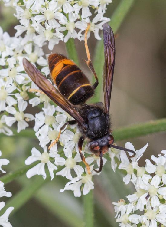 """蜜蜂在寻找""""重要捕食者""""的亚洲大黄蜂"""