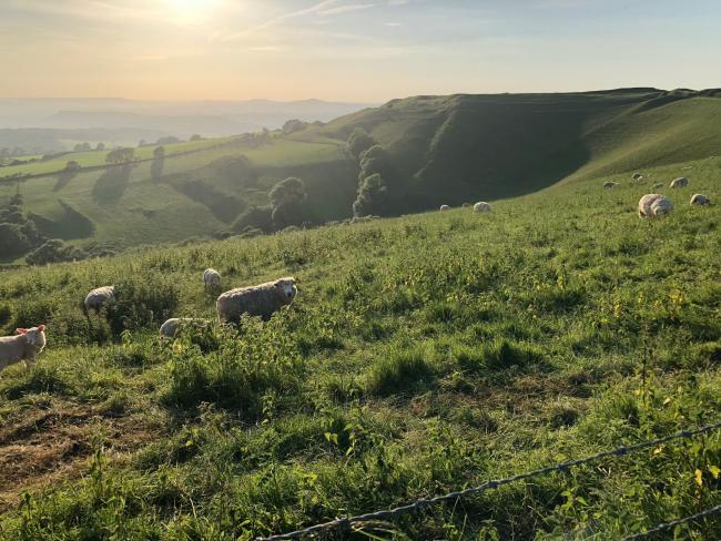 FEELING SHEEPISH: Looking west towards Eggardon Hill, with early evening sunshine, pictured by Derek Bull