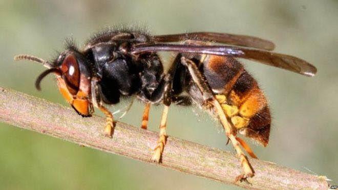 West Dorset on alert for Asian hornet invasion
