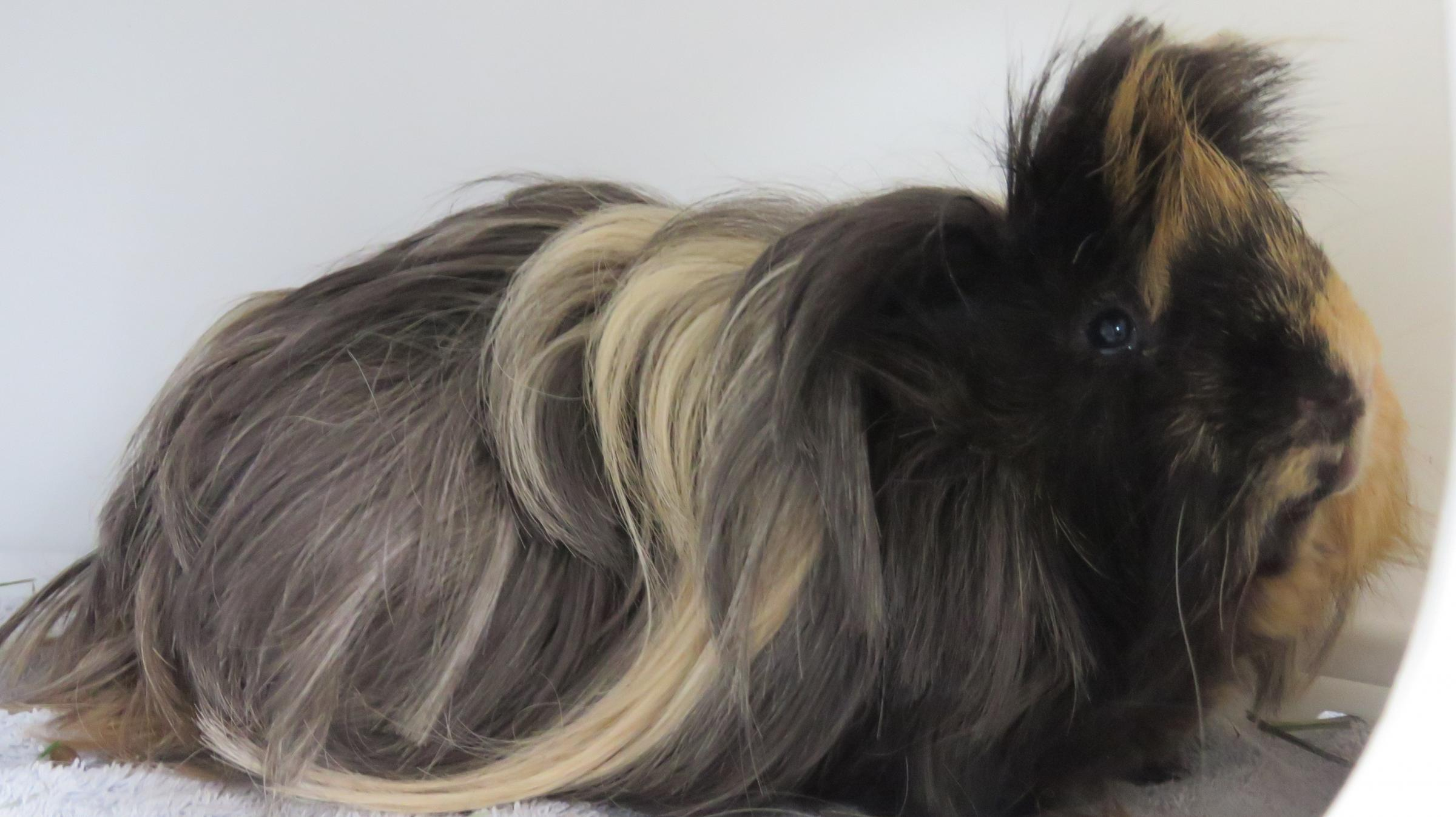 Three dogs, two cats and a guinea pig looking for forever homes this week
