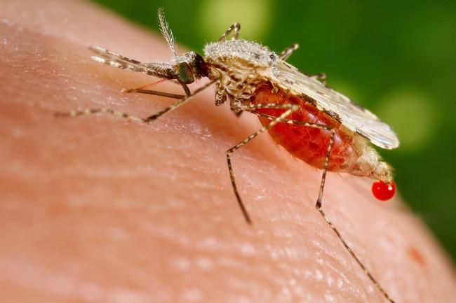 Malaria infection linked to 30% increased risk of heart