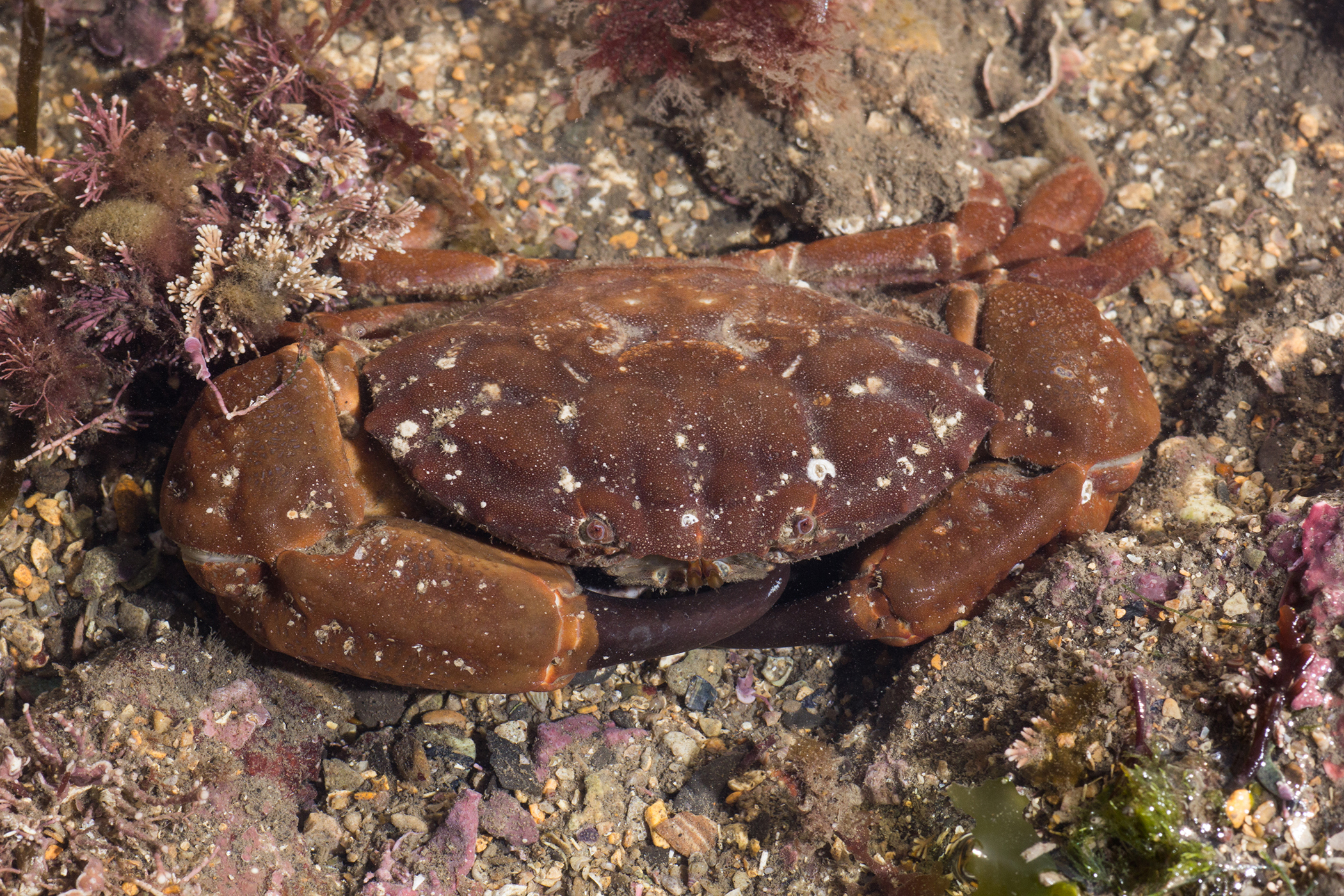 Why this crab spotted in Dorset is an 'indicator of climate change'