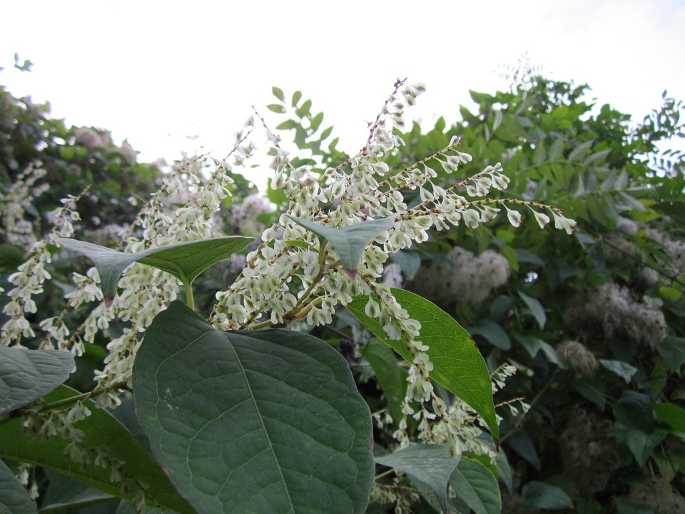 Japanese knotweed, picture: Pixabay