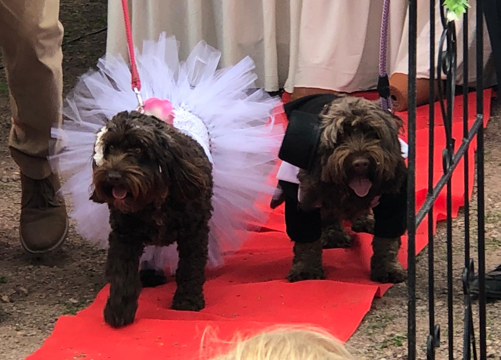 Spoodle and Cockapoo get married for charity (but they're already heading for a divorce)